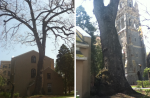 Photographs of an old white oak tree (>300 years) on the campus of Lehigh University. Note the gnarled base in the righthand image.